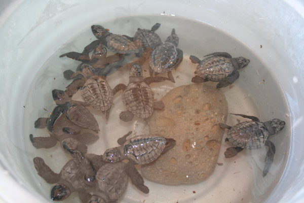 13 turtles rescued by Casita de La Penita